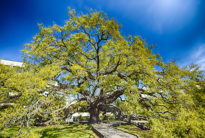 Treaty Oak In Jacksonville, Florida, USA